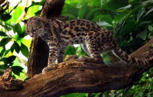 Gato tigre, todo sobre esta especie