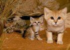 gato del desierto?