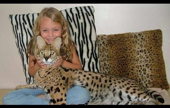 Gato Savannah imagen