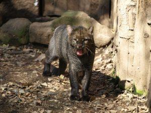 Jaguarundi, todo sobre este felino enigmático.