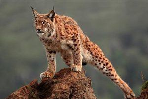Lynx rufus o lince rojo