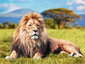 El león: ¡Su historia te sorprenderá!