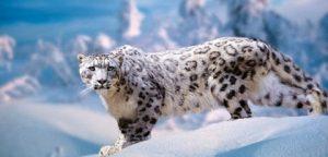Leopardo de nieve ¿Quién será?