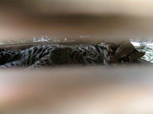 Ocelote, todo sobre este pequeño felino.