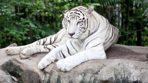 El tigre blanco donde habitat