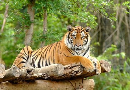 Tigre: perfección de animal salvaje