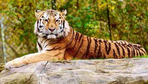 Cuanto viven los tigres en cautiverio